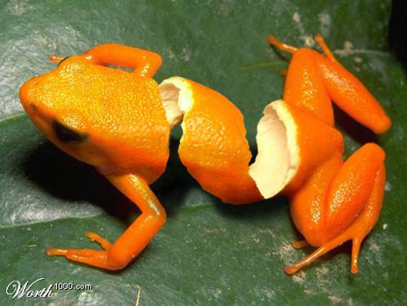 Grenouille orange